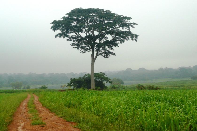 An Iroko Tree.